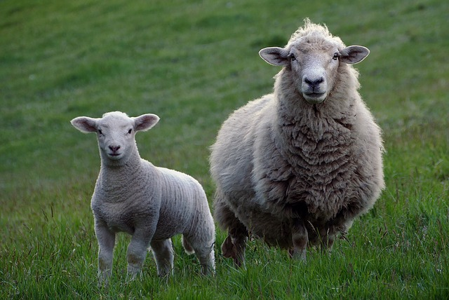 Types of Feed, Diet and Feeding Standards for Sheep at Home